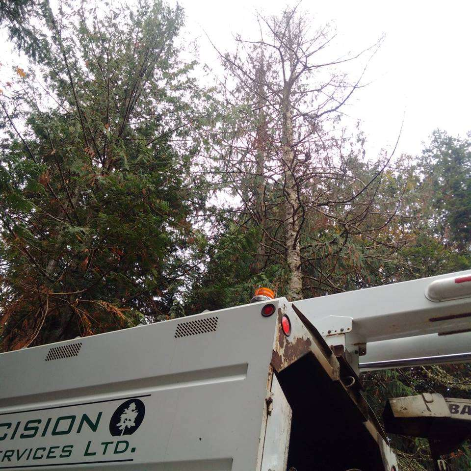 Tree assessment and removal. Assessing a dead fir tree.