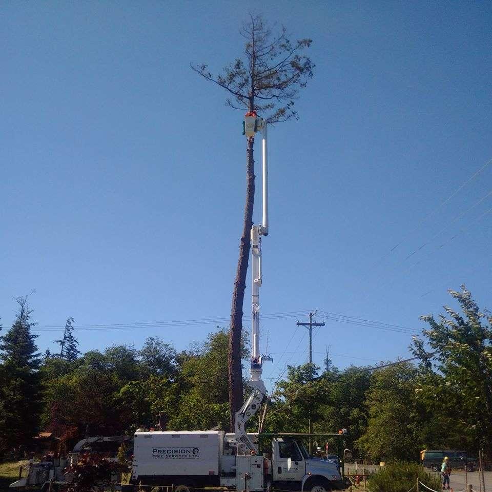 Declining fir hazard tree