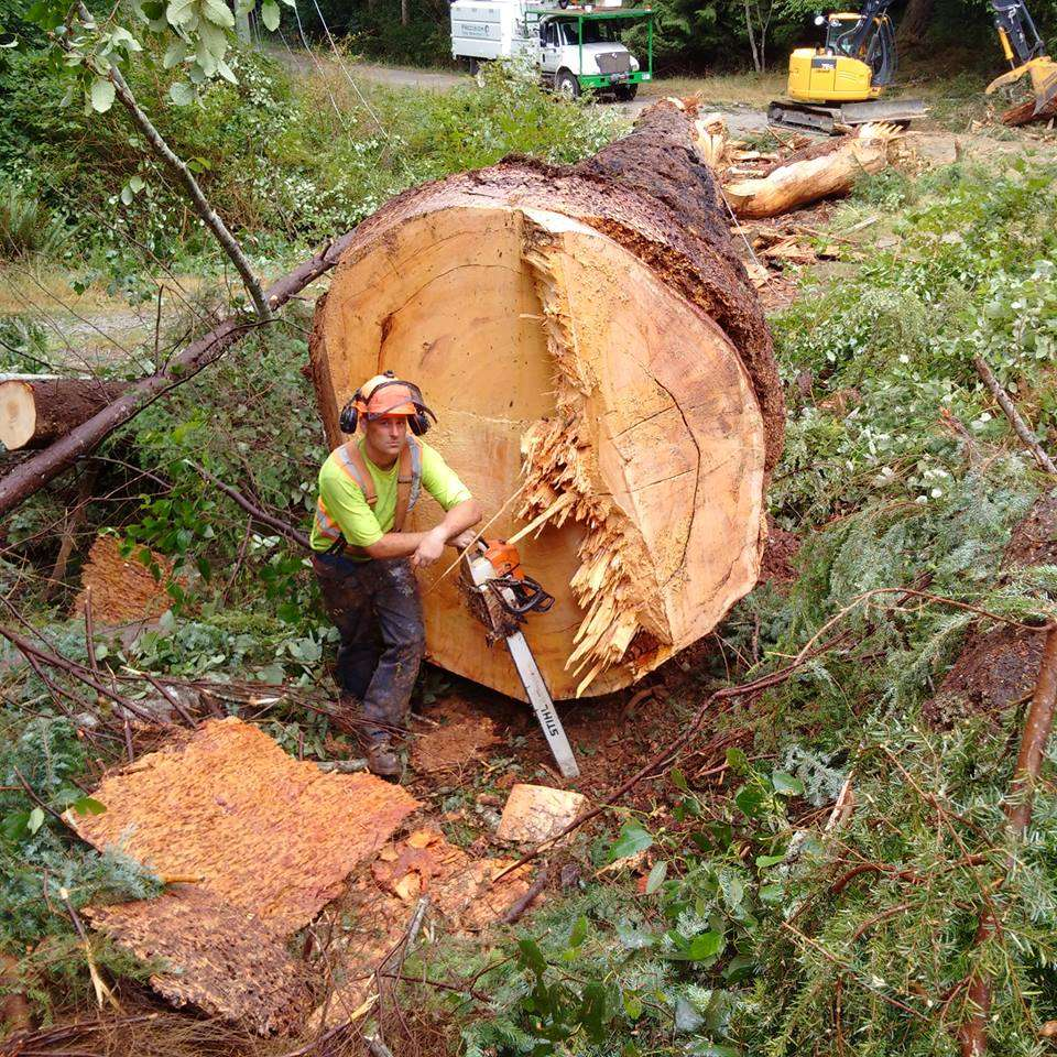 Tree felling Comox Valley. Staff member posing with chainsaw in front of massive felled tree.
